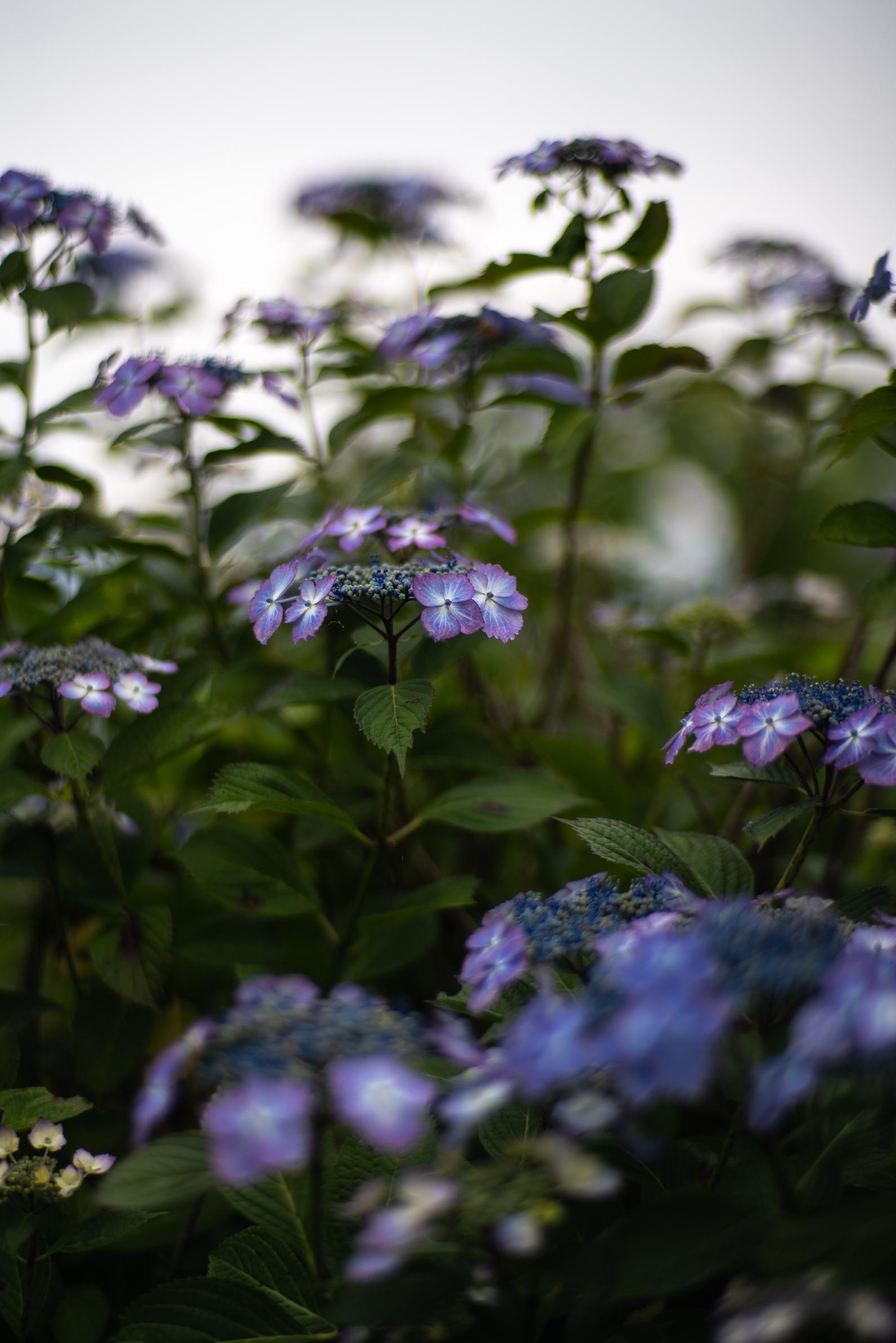 2020.06.21 秩父美の山公園 紫陽花-10.jpg