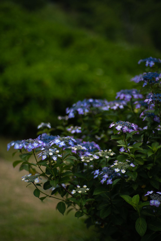 2020.06.21 秩父美の山公園 紫陽花-11.jpg