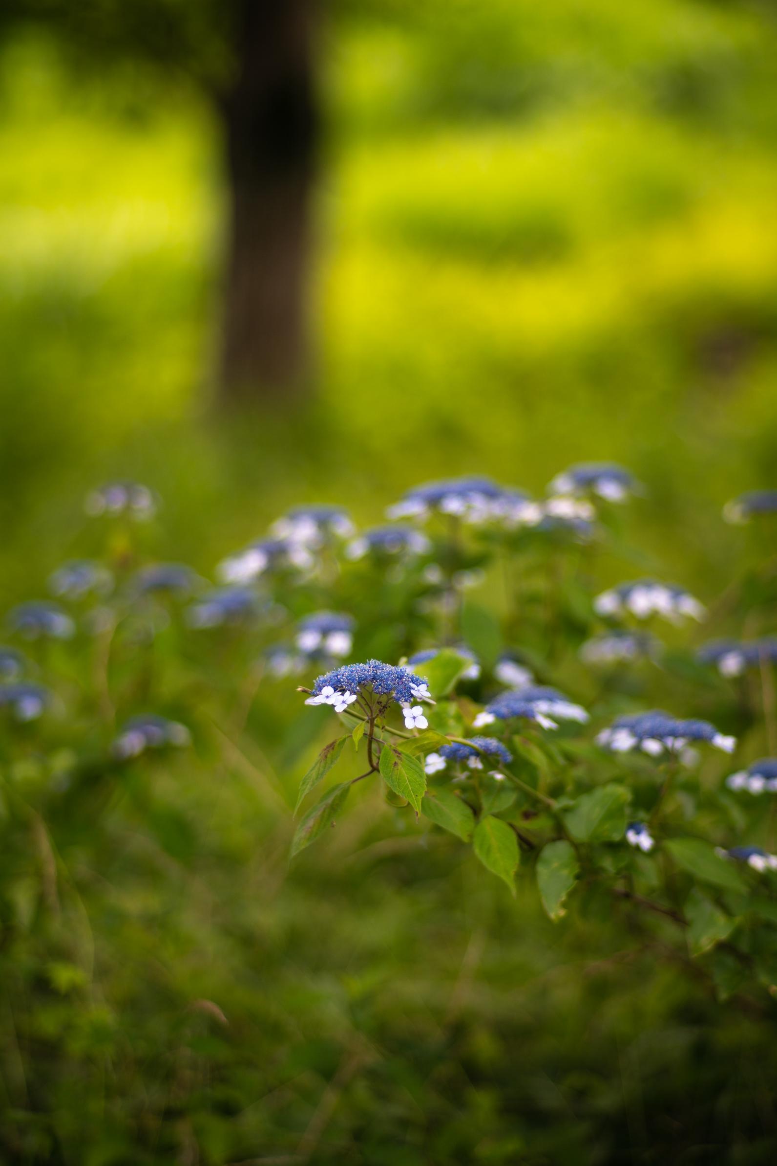 2020.06.21 秩父美の山公園 紫陽花-13.jpg