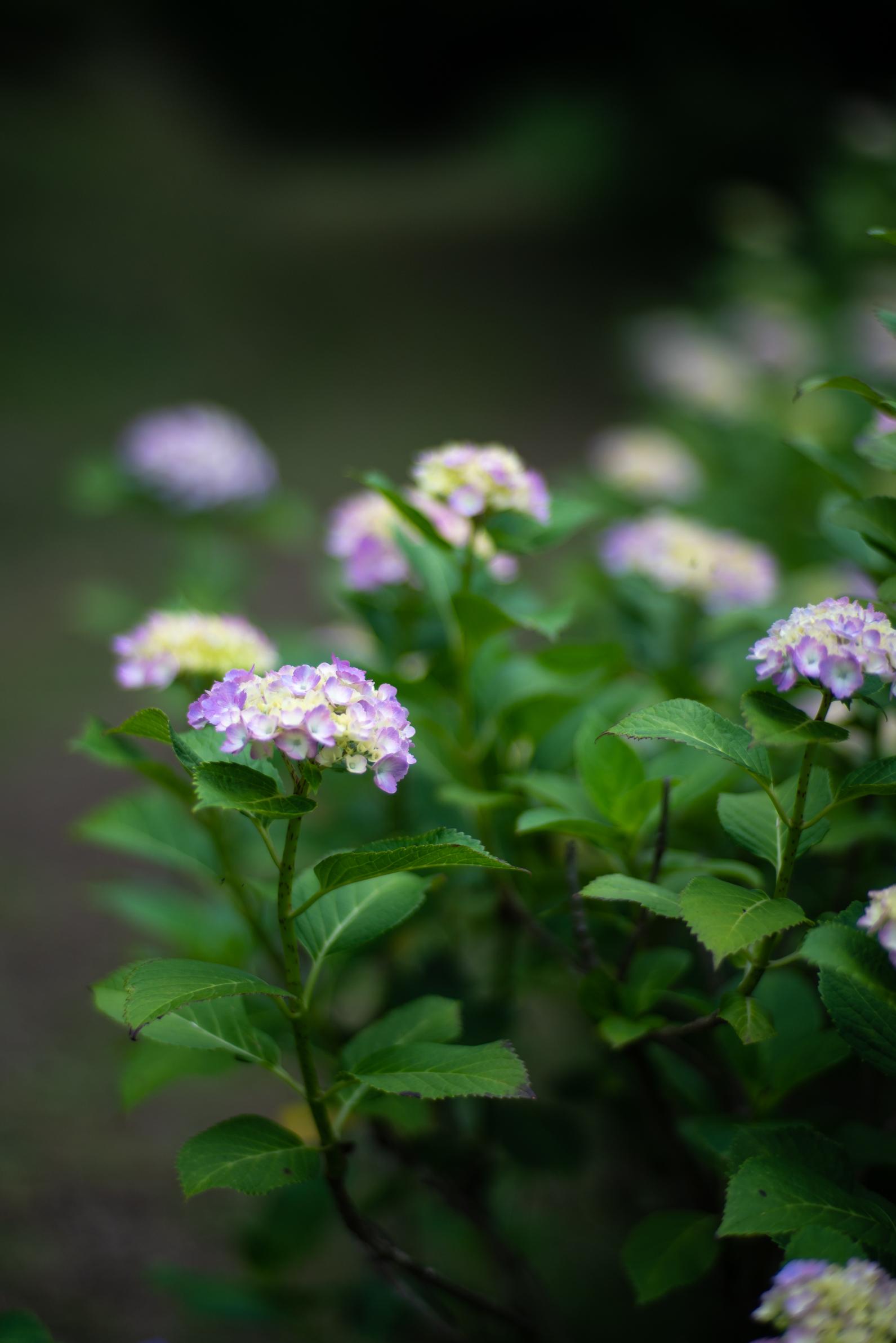 2020.06.21 秩父美の山公園 紫陽花-15.jpg
