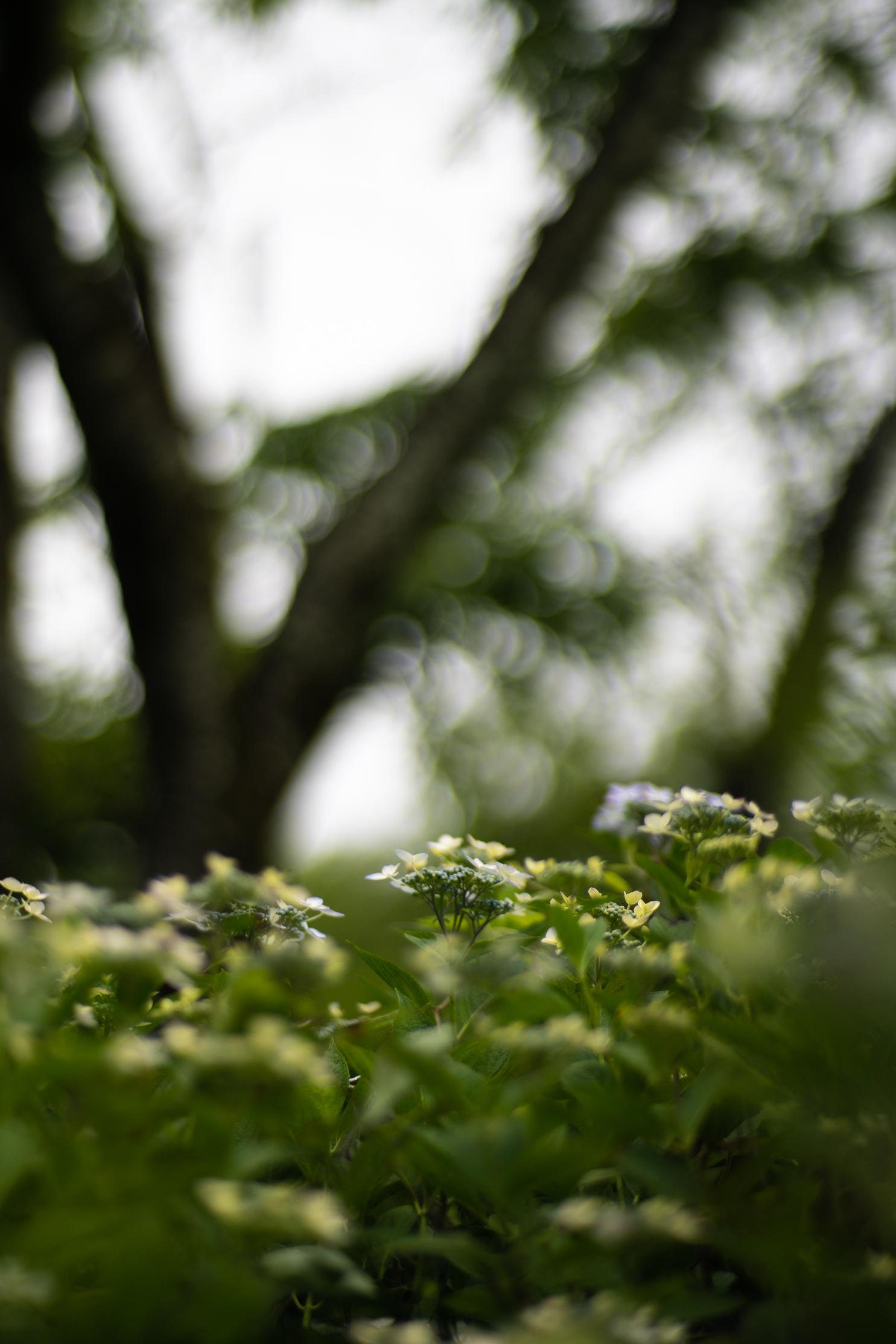 2020.06.21 秩父美の山公園 紫陽花-20.jpg
