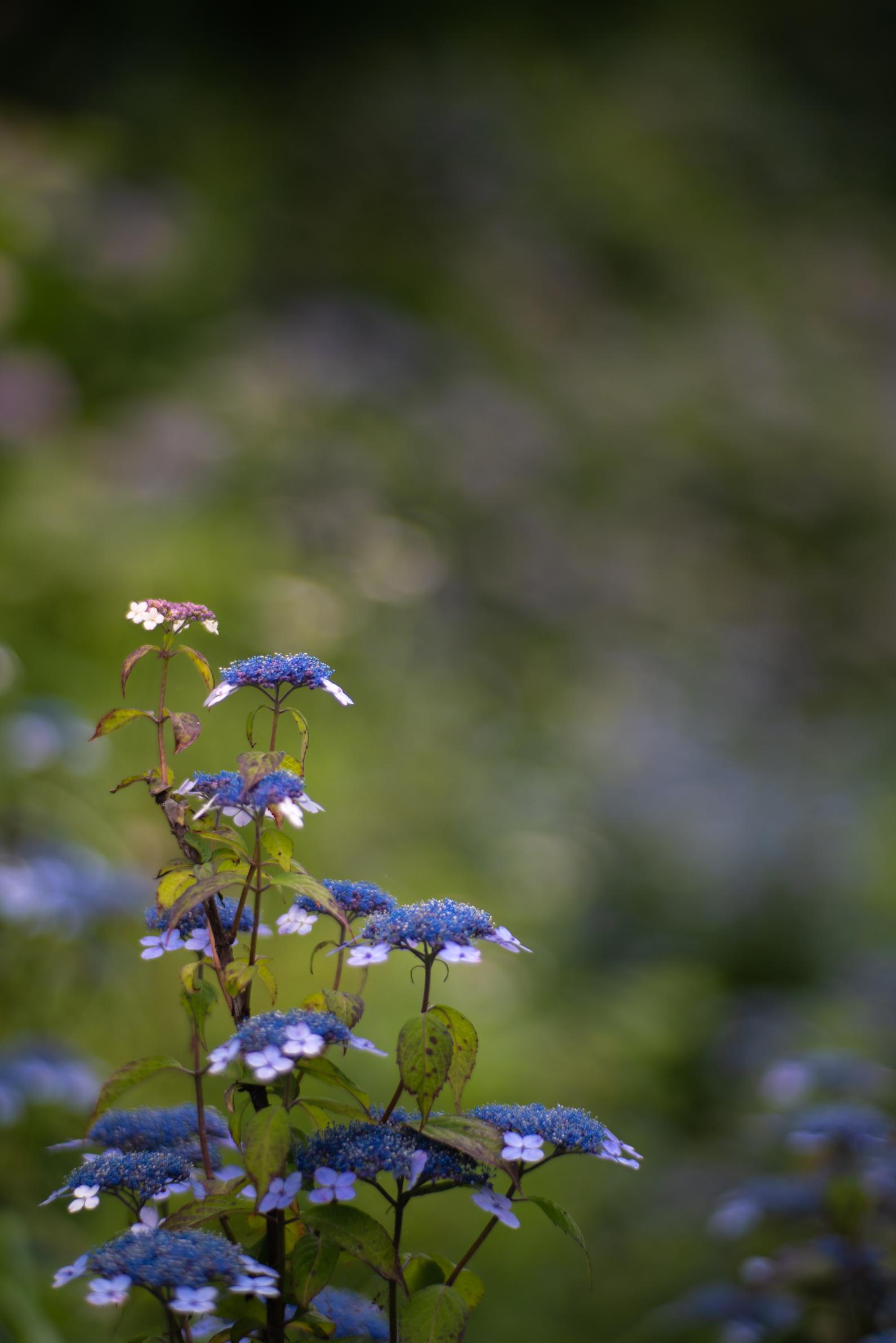 2020.06.21 秩父美の山公園 紫陽花-24.jpg