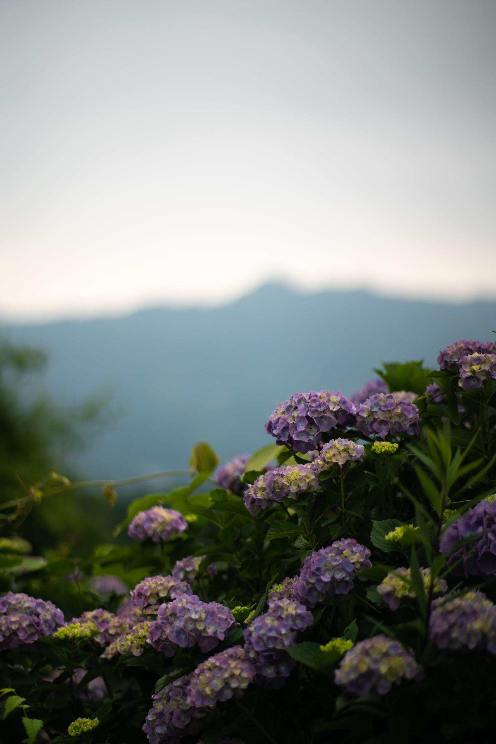 2020.06.21 秩父美の山公園 紫陽花-25.jpg
