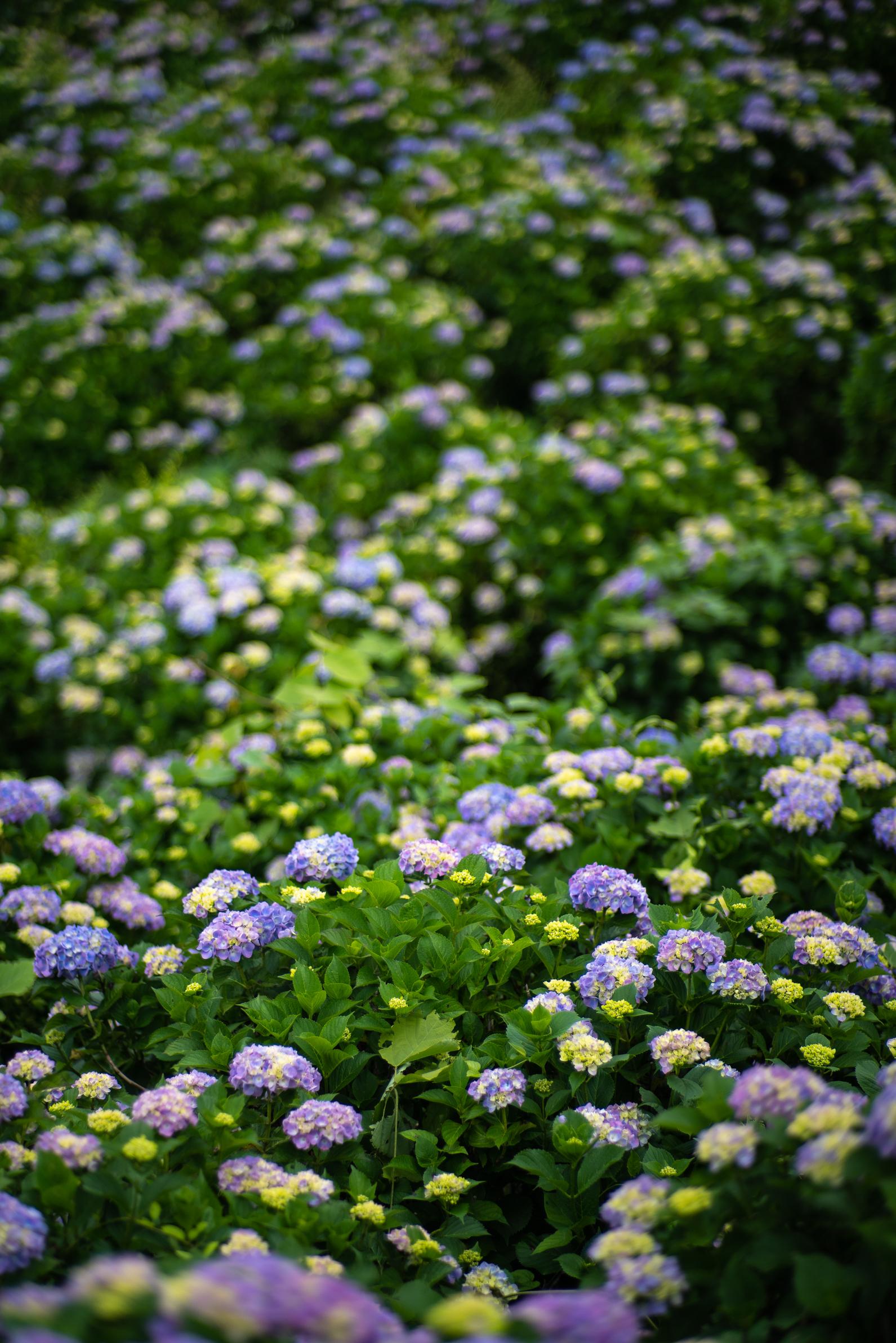 2020.06.21 秩父美の山公園 紫陽花-28.jpg
