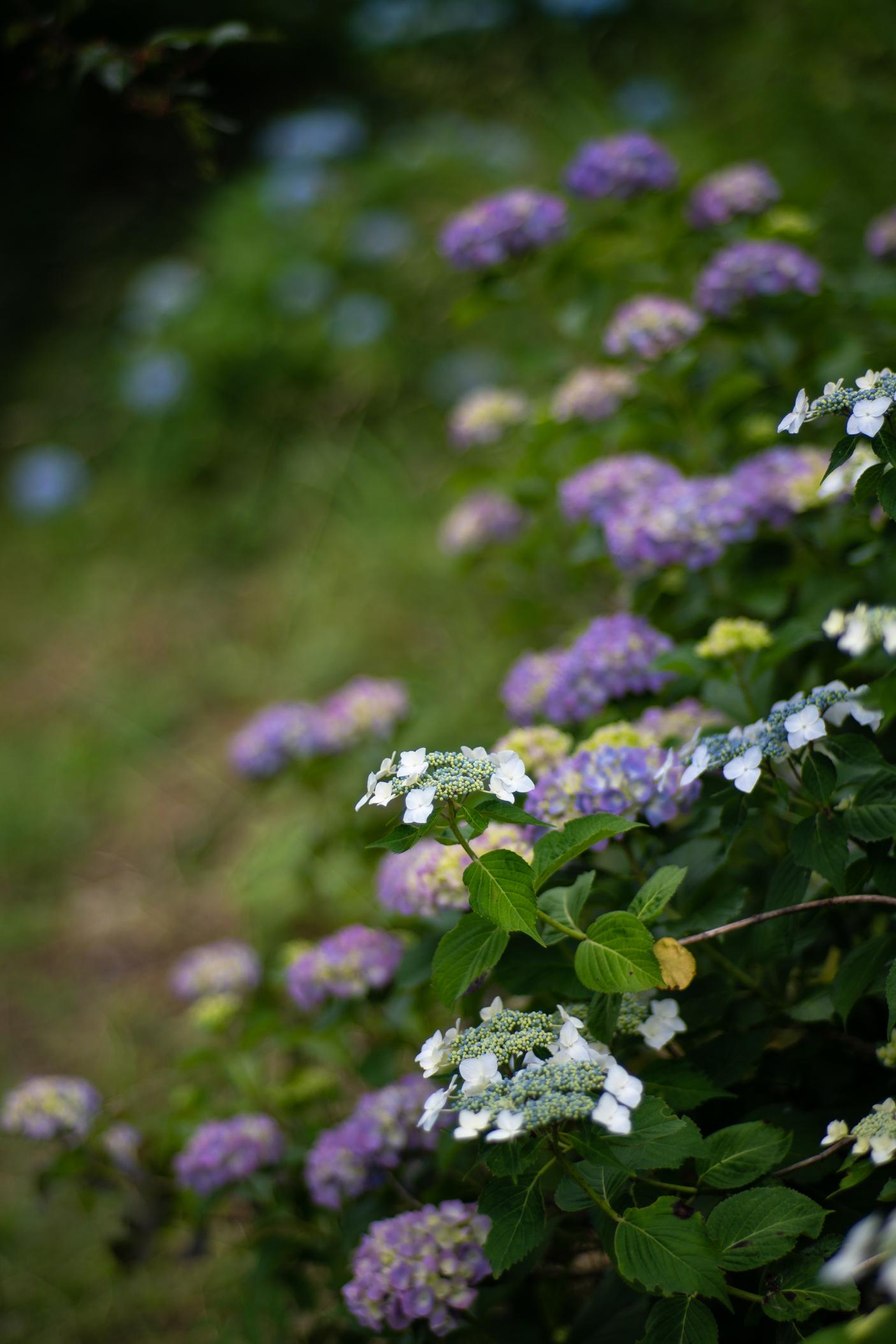 2020.06.21 秩父美の山公園 紫陽花-6.jpg