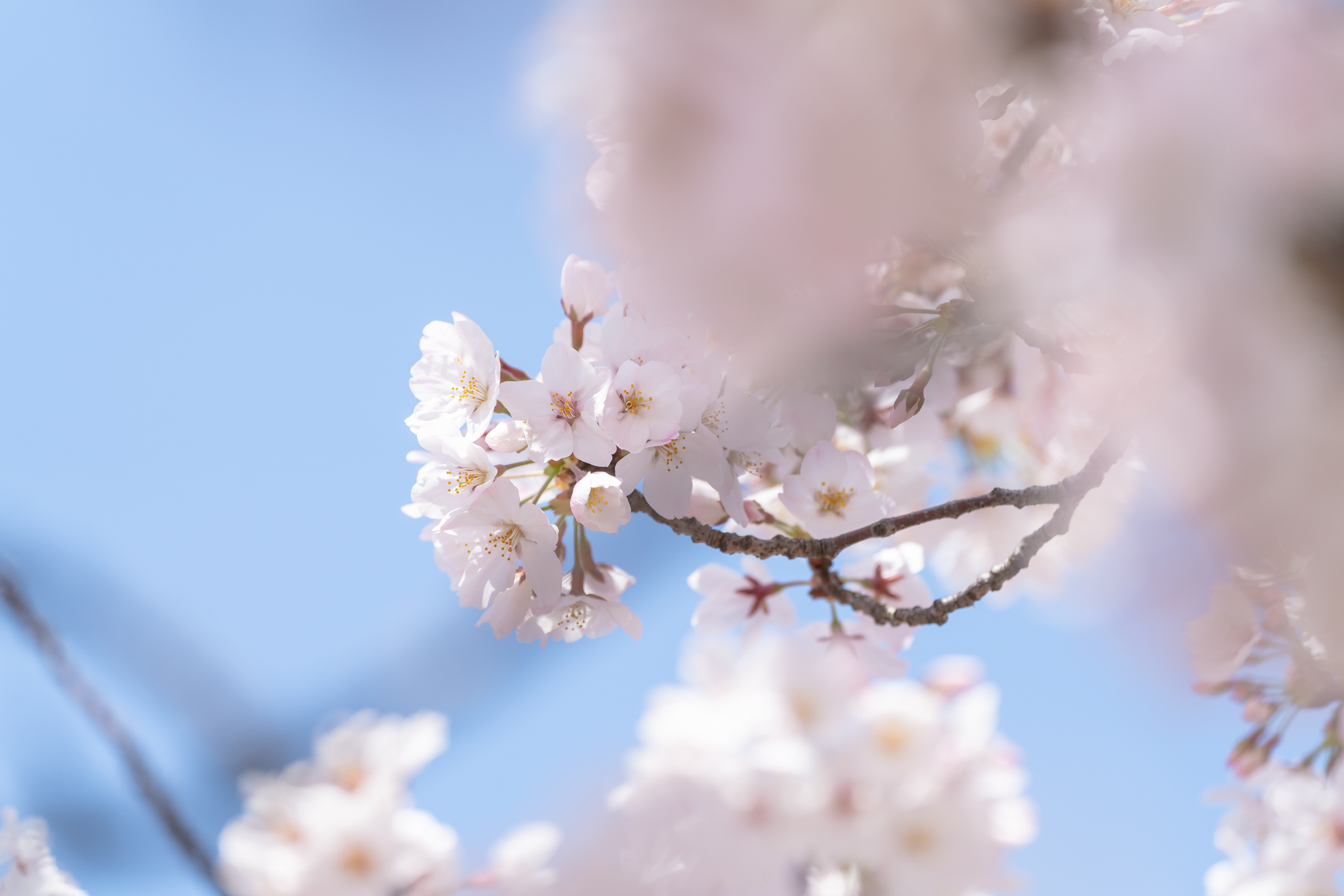 2021.03.26 桜-7.jpg